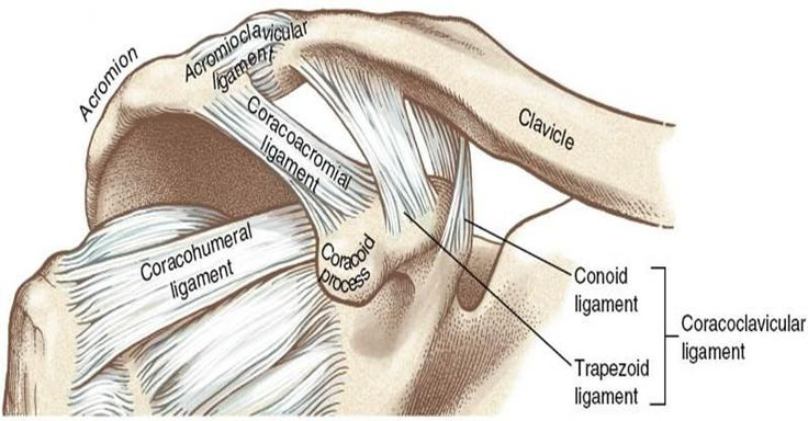 Acromioclavicular Joint Ligament